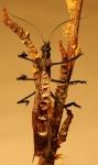 Stonefly Adult by Jackson Leong